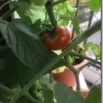 トマトは食虫植物だった? 育てて気づくことがある