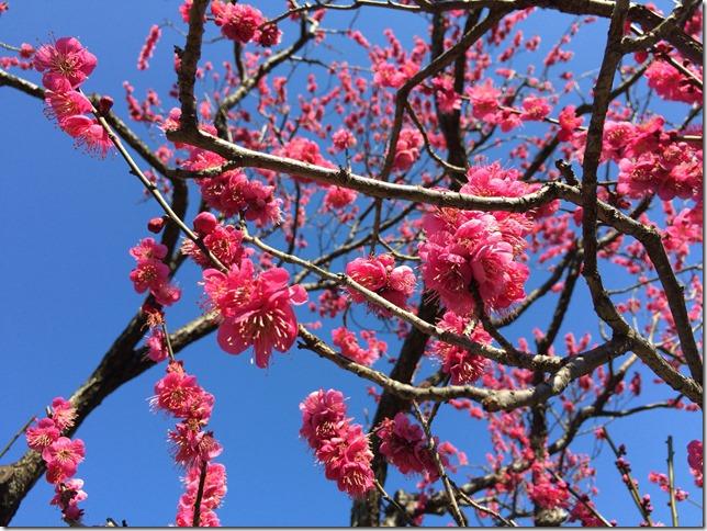 東横線沿いで梅を見るなら大倉山公園がおすすめですよ